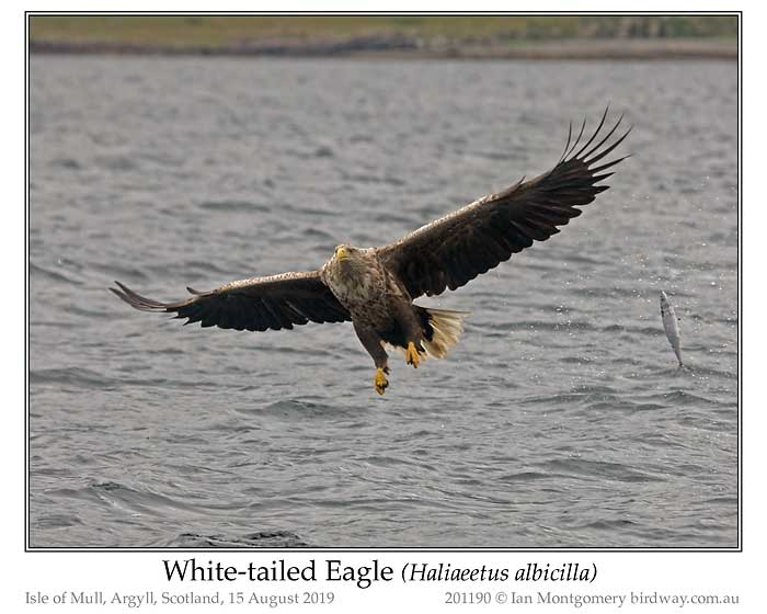 Photo of White-tailed Eagle white_tailed_eagle_201190_pp