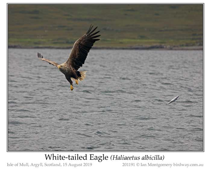 Photo of White-tailed Eagle white_tailed_eagle_201191_pp