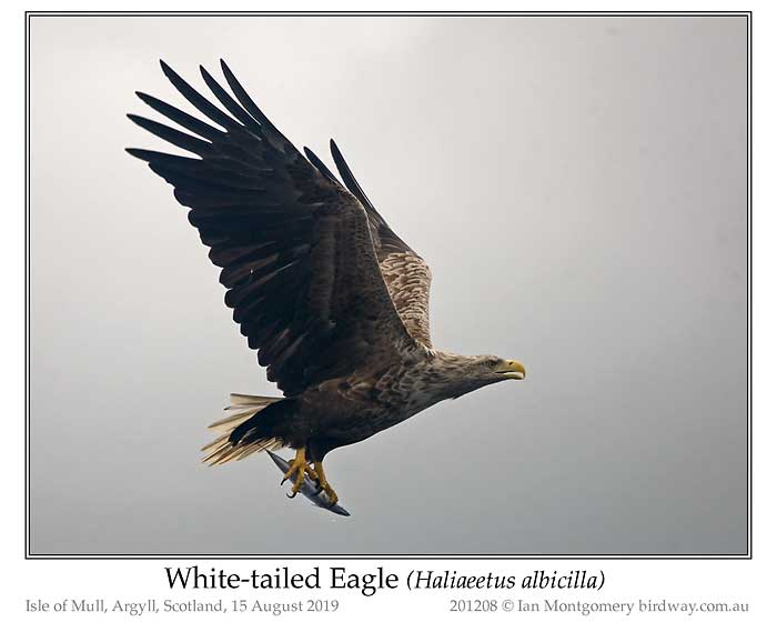 Photo of White-tailed Eagle white_tailed_eagle_201208_pp