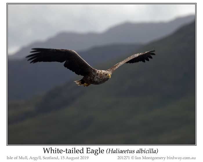 Photo of White-tailed Eagle white_tailed_eagle_201271_pp