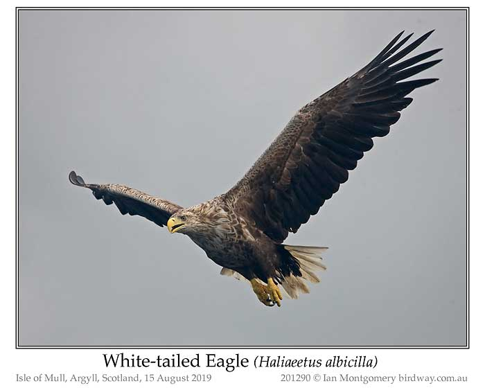 Photo of White-tailed Eagle white_tailed_eagle_201290_pp