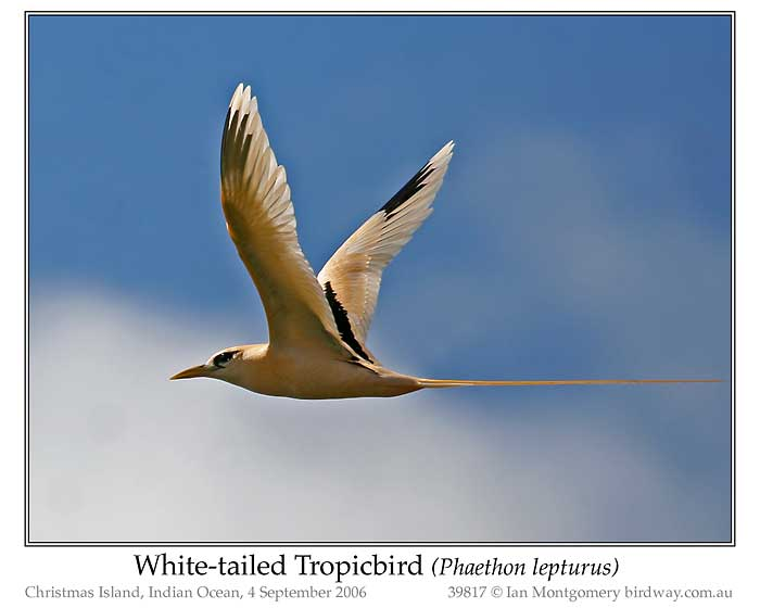 Photo of White-tailed Tropicbird whitetail_tropicbird_39817_pp
