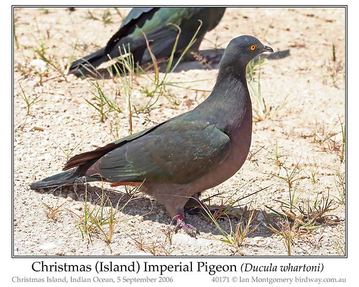 Photo of Christmas Island Imperial Pigeon xmas_is_imp_pigeon_40171_pp