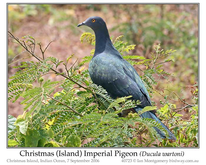 Photo of Christmas Island Imperial Pigeon xmas_is_imp_pigeon_40723_pp