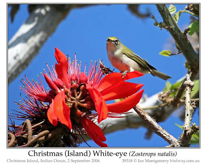 Photo of Christmas Island White-eye xmas_is_white_eye_39318_pp