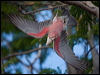 Click here to enter Galah  photo gallery
