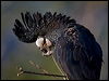 Click here to enter Red-tailed Black Cockatoo photo gallery