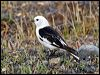 Click here to enter gallery and see photos of: Snow Bunting; Lapland Longspur.