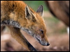 Click here to enter Red Fox photo gallery