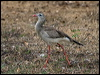 Click here to enter gallery and see photos of: Red-legged Seriema