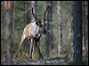 Click here to enter Reindeer/ Caribou photo gallery
