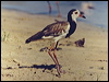 Click here to enter Long-toed Lapwing photo gallery