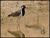 Click here to enter Red-wattled Lapwing photo gallery
