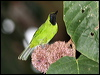Click here to enter gallery and see photos of: Greater Green, Lesser Green and Orange-bellied Leafbirds.