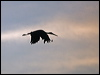 Click here to enter Black Stork photo gallery