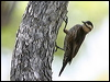 Click here to enter gallery and see photos of: White-throated, White-browed, Red-browed, Brown, Black-tailed and Rufos Treecreepers