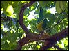 Click here to enter Cloven-feathered Dove photo gallery