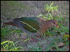 Click here to enter Brown-capped/Pacific Emerald Dove photo gallery