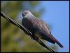 Click here to enter Goliath Imperial Pigeon photo gallery