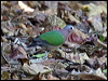 Click here to enter Grey-capped/Common Emerald Dove photo gallery