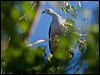 Click here to enter Pacific Imperial Pigeon photo gallery