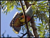 Click here to enter Rose-crowned Fruit Dove photo gallery