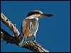 Click here to enter Red-backed Kingfisher photo gallery