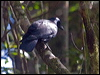Click here to enter New Caledonian Crow photo gallery