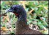 Click here to enter gallery and see photos of Rufous-vented, Speckled Chachalaca, Trinidad Piping-Guan