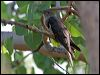 Click here to enter Oriental Cuckoo photo gallery