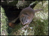 Click here to enter Yellow-footed Antechinus photo gallery