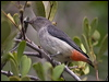 Click here to enter Mistletoebird  photo gallery