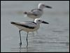 Click here to enter gallery and see photos of: Crab Plover