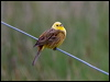 Click here to enter  Yellowhammer photo gallery