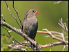 Click here to enter Beautiful Firetail photo gallery
