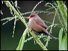 Click here to enter Common Waxbill photo gallery
