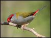 Click here to enter Red-browed Finchphoto gallery