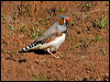 Click here to enter Zebra Finch photo gallery