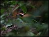 Click here to enter gallery and see photos of: (Malaysian) Rail Babbler