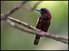 Click here to enter gallery and see photos of: Asian Green, Black-and-red, Long-tailed and Banded Broadbill