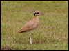 Click here to enter Cream-coloured Courser photo gallery