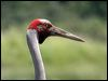 Click here to enter gallery and see photos of: Sarus, Sandhill Crane; Brolga