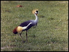 Click here to enter Grey-crowned Crane photo gallery