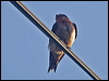Click here to enter Pacific Swallow photo gallery