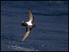 Click here to enter gallery and see photos of: Wilson's, Grey-backed and Black-bellied Storm-Petrel
