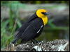 Click here to enter gallery and see photos of: Crested Oropendola; Yellow-rumped Cacique; Bullock's Oriole; Shiny Cowbird; Yellow-hooded, Scrub, Red-winged, Tricolored, Brewers, Red-breasted and Yellow-headed Blackbirds; Great-tailed and Carib Grackles; Western Meadowlark.