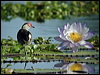 Click here to enter gallery and see photos of: African, Comb-crested and Wattled Jacana