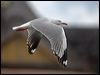 Click here to enter Silver Gull photo gallery