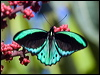 Click here to enter Cairns Birdwing photo gallery