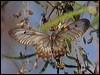 Click here to enter Clearwing Swallowtail photo gallery